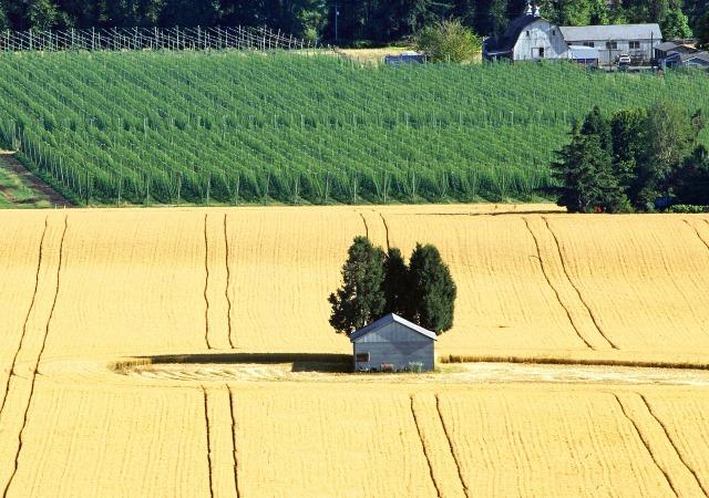 https://commons.wikimedia.org/wiki/File:Mount_Angel_OR_-_grain_field.jpg